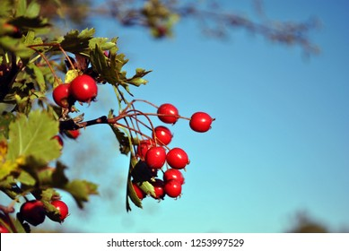Crataegus (hawthorn, quickthorn, thornapple, May tree, whitethorn, hawberry) red ripe berries on branch, bright blue sky background