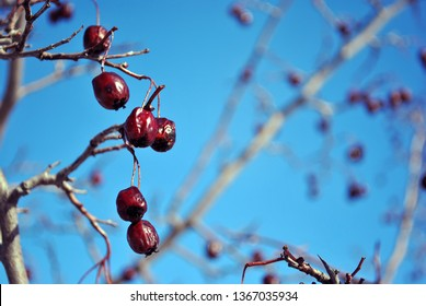 Crataegus (hawthorn, quickthorn, thornapple, May tree, whitethorn, hawberry) red ripe berries on branch without close up detail macro, blue sky background
