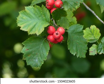 Crataegus intricata is a species of hawthorn known by the common names Copenhagen hawthorn, Lange's thorn and thicket hawthorn. Hanover District, Germany