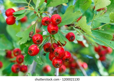 Crataegus monogyna. Fruits of the forest. Bread and cheese, hawthorn, quickthorn quickset, whitethorn.