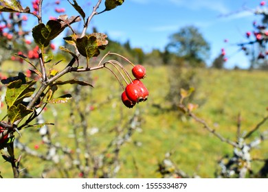 Crataegus red fruits, commonly called hawthorn, quickthorn, whitethorn, or hawberry,