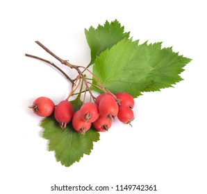Crataegus sanguinea, common names redhaw hawthorn or Siberian hawthorn. Isolated on white.