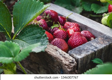 A crate of freshly picked strawberries in a field.