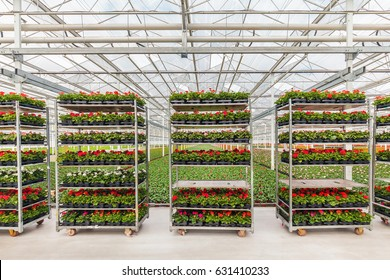 Crates with Dutch geranium plants in a greenhouse ready for export