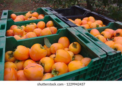 Crates of persimmons freshly collected in the field. The collectors put the persimmons in crates in the field to take them to the warehouse and distribute them to the merchants