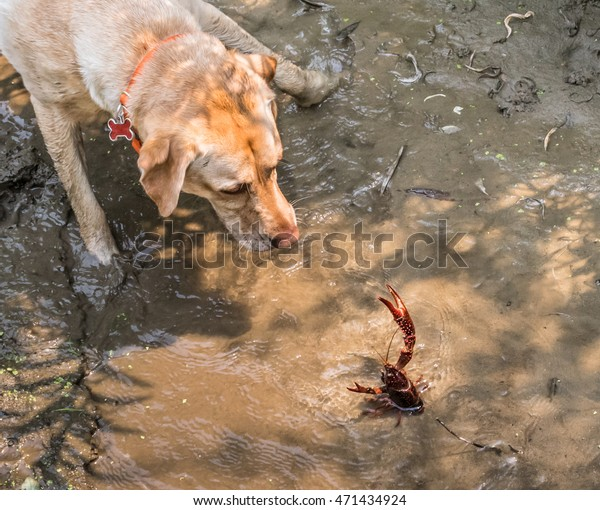 A crawdad (crayfish) in a shallow creek threatens to pinch an approaching dog (yellow Labrador (Lab) retriever) in central California.