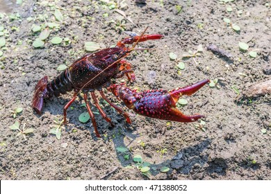 A crawdad (crayfish) takes on a threatening posture with its large claw as it walks along a drying creek bed.