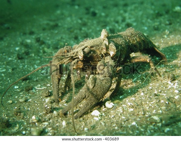 A Crawfish with mussels on its hull. Taken in a german lake.