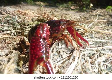 crawfish, nature and wildlife photo