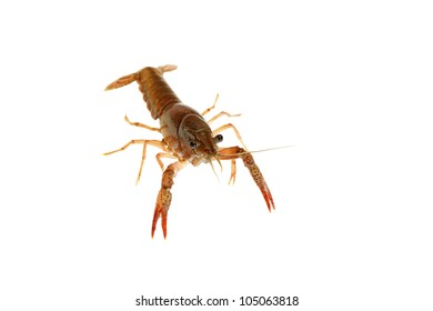 craw-fish on white and red isolated from river