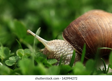 Crawler snail. Creeper snail after rain on the grass. Helix pomatia.