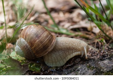 Crawling brown garden snail on leafs