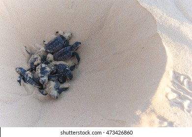 Crawling out of the nest  Found these hawksbill turtle hatchlings on North East Island, an important sea turtle rookery, off Groote Eylandt.