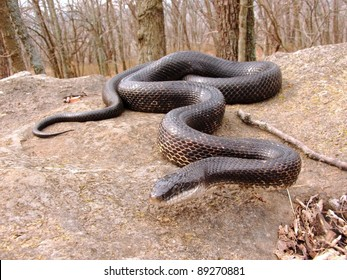 Crawling snake hunting food in early spring - Black Rat Snake, Pantherophis obsoleta