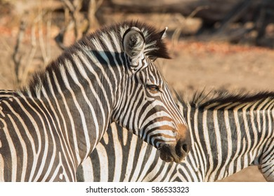 Crawshay's zebra (Equus quagga crawshayi) head, mane, and stripes in the South Luangwa Valley of Zambia, Africa.