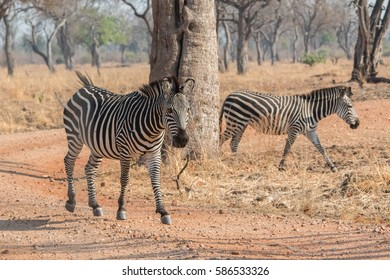 Crawshay's zebras (Equus quagga crawshayi) walked across savanna landscape during a safari in the South Luangwa Valley of Zambia, Africa.