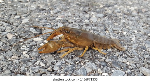 A Crayfish (Family Astacoidea), sometimes known as a crawdad or mudbug, walks across asphalt, shown in left profile, in Taneytown, Carroll County, Maryland.