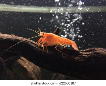 Crayfish, also known as crawfish, crawdads, freshwater lobsters, mountain lobsters, mudbugs or yabbies, are freshwater crustaceans resembling small lobsters.