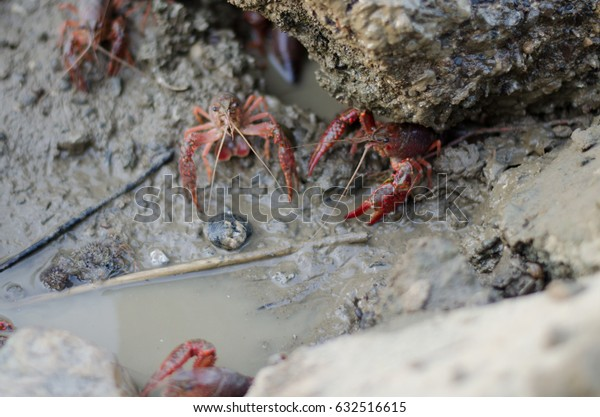 Crayfish in the mud