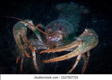 Crayfish in a natural habitat