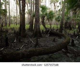 Crazy Bendy Palm Tree: a cabbage palm tree in the Fisheating Creek Wildlife Managment Area, Florida, exibits many twists and turns in its trunk