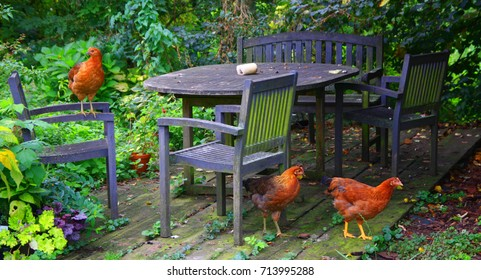 Crazy colorful garden still life. Young chickens of the breed Vlaska in the garden. Hens of traditional breeds in domestic welfare breed. Chickens are happy to roam in the garden sitting.