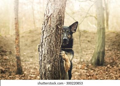 crazy fun german shepherd dog puppy dog trick in sunset forest
