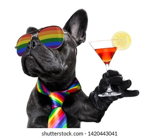 crazy funny gay french bulldog  dog proud of human rights ,sitting and waiting, with rainbow flag tie  and sunglasses , isolated on white background , cheers with cocktail a toast