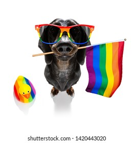 crazy funny gay homosexual  dachshund sausage dog proud of human rights ,sitting and waiting, with rainbow flag tie  and sunglasses , isolated on white background
