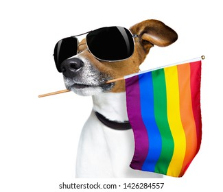 crazy funny  jack russell gay dog  proud of human rights ,sitting and waiting, with rainbow flag   and sunglasses , isolated on white background