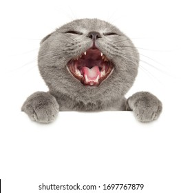 Crazy grey cat above banner, isolated on white background