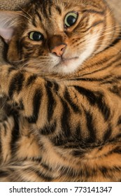crazy looking striped toyger cat curled up on couch - funny kitten