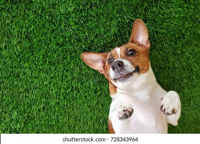 Crazy smiling dog jack russel terrier, lying on green grass. Happy new year.