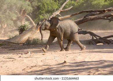Crazy young Elephant in the dry Huab River, Damaraland, Namibia