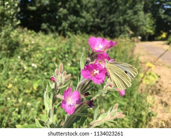 Cream Butterfly on Pink Flowers, Hartlepool, England