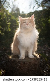 cream colored beige white maine coon cat sitting on stree stump outdoors in sunny nature looking at camera
