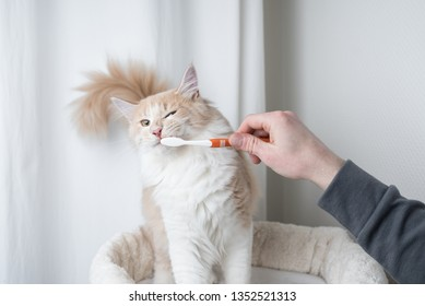 cream colored maine coon cat getting teeth brushed by owner