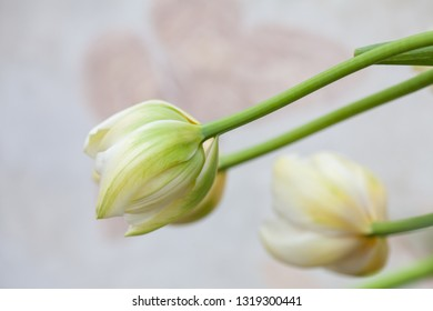 Cream coloured tulip flower heads.