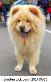 Cream dog Chow-Chow breed. Focus on the dog muzzle, shallow depth of field