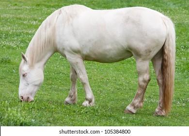 A Cream Draft horse grazing in the field.