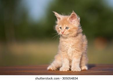 cream maine coon kitten portrait outdoors