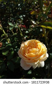 Cream and Pink Flower of Rose 'Caramel Antike' in Full Bloom