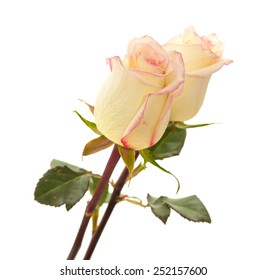 cream and pink variegated rose isolated on white background