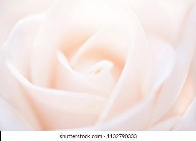 Cream Rose Background