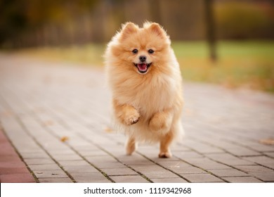 cream sable orange pomeranian spitz adult dog running outdoor