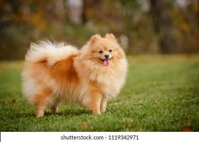 cream sable orange pomeranian spitz adult dog outdoor