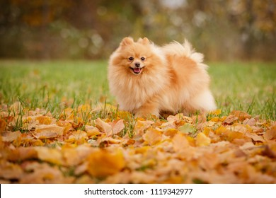 cream sable orange pomeranian spitz adult dog outdoor