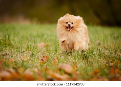 cream sable orange pomeranian spitz adult dog running outdoor