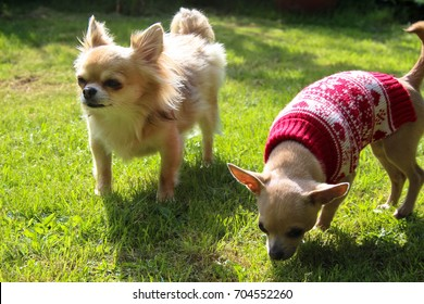 Cream short haired and long haired chihuahua puppies playing outdoors