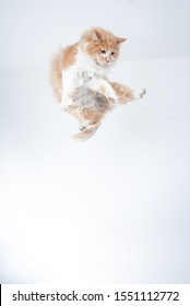cream tabby white maine coon cat jumping in the air flying in front of white background with copy space